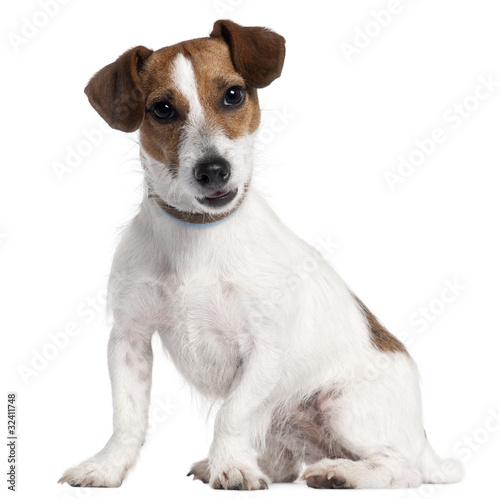 Obraz jack russel, 5 years old - fototapety do salonu