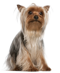 Yorkshire Terrier, 1 year old, sitting