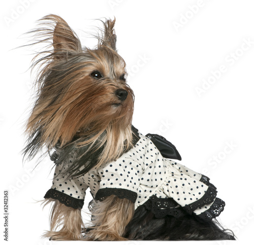 Valokuva  Yorkshire Terrier wearing black and white polka dot dress