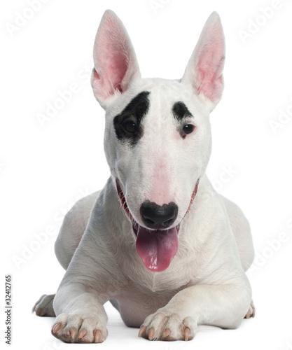 Billede på lærred Bull Terrier puppy, 6 months old, lying