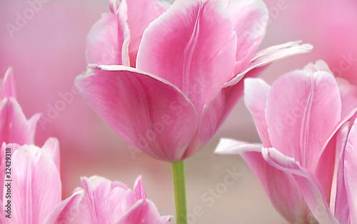 rozowe-tulipany-z-bliska