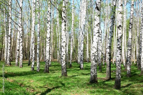 Foto op Plexiglas Berkbosje Spring Birch Grove in sunny day