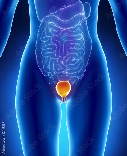 Female Bladder Anatomy Anterior X Ray View Buy This Stock
