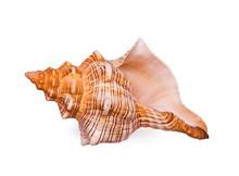 Big Bright Seashell On The Whi...