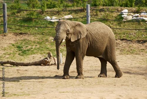 Fototapeta młody słoń w zoo 3 obraz