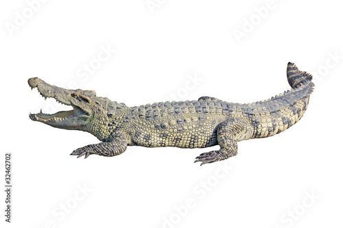 La pose en embrasure Crocodile crocodile on white background