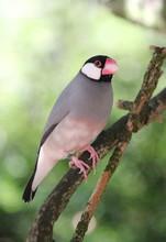 Java Padda Bird