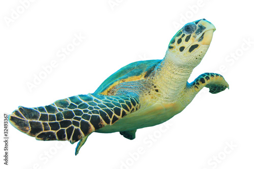 Poster Tortue Hawksbill Sea turtle isolated on white background
