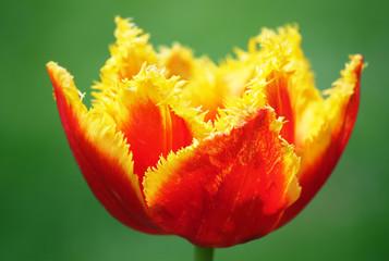 Panel Szklany Tulipany Red tulip