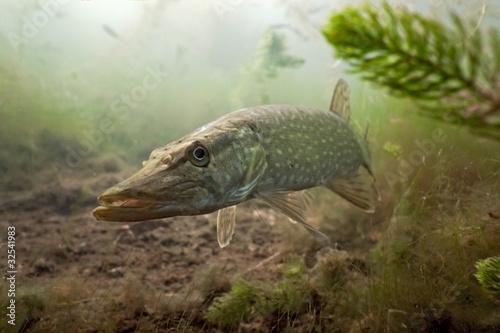 Fotografía  Pike in the lake