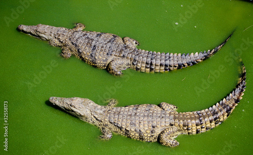 Photo Stands Crocodile Zwei Krokodile