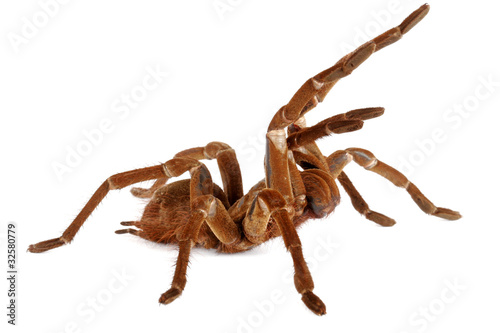 Goliath Birdeater Tarantula  (Theraphosa blondi) Canvas