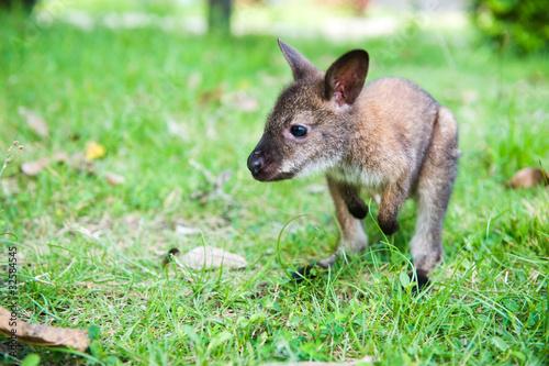 Fotobehang Kangoeroe small western grey kangaroos