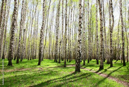 Deurstickers Berkbosje Birch Grove In Spring Colors
