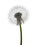 Dandelion seedhead, clock over white