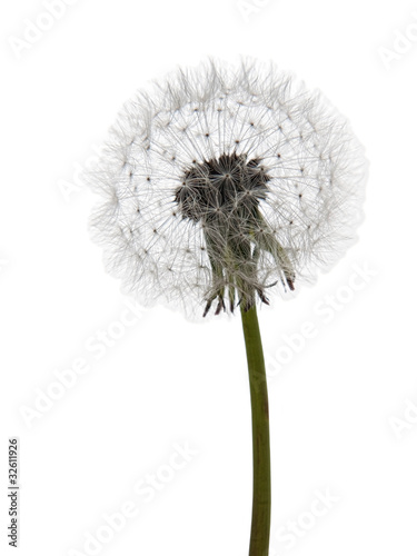 Dandelion seedhead, clock over white