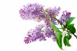 Lilac flowers on a white background, isolated.