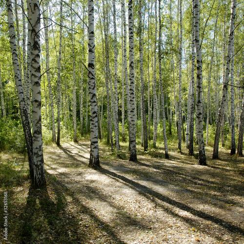 Foto op Plexiglas Berkbosje sunshiny birch grove