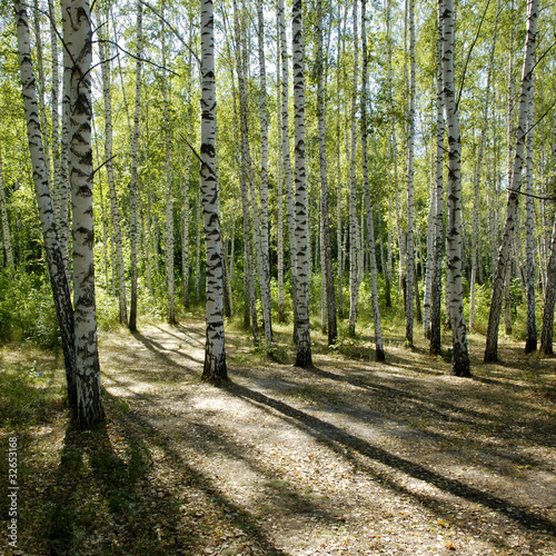 Deurstickers Berkbosje sunshiny birch grove
