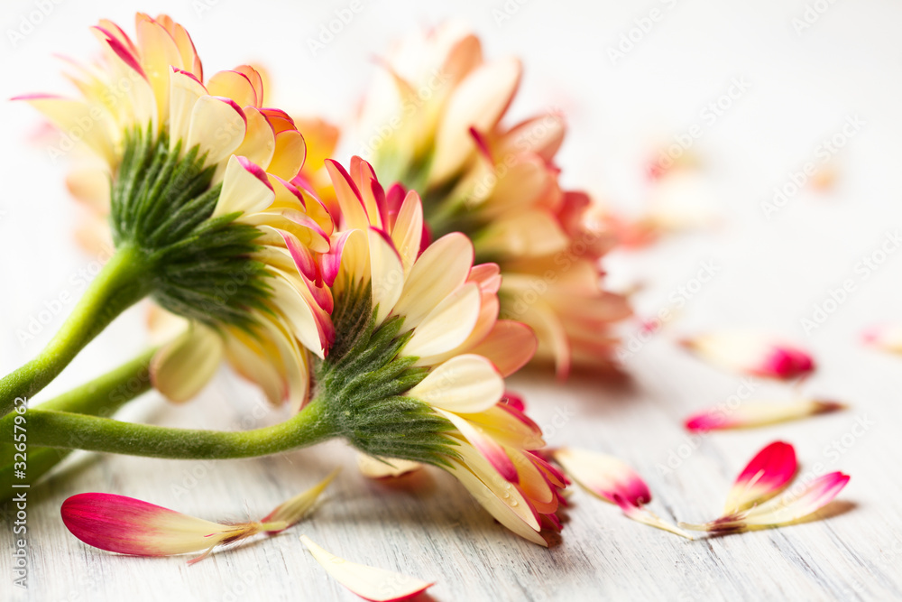 Fototapeta Beautiful gerberas on white wooden background
