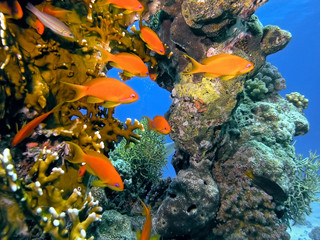 FototapetaShoal of anhthias fish on the coral reef