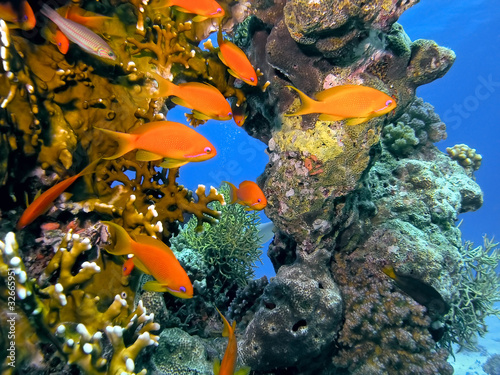 Shoal of anhthias fish on the coral reef - 32665951