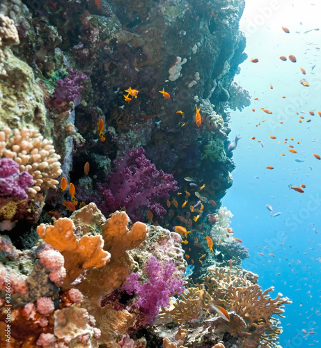 Shoal of anithias fish on the coral reef - 32665978