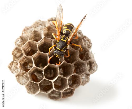 Vászonkép Wasp and vespiary