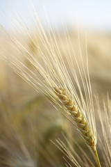 spighe di grano maturo in estate