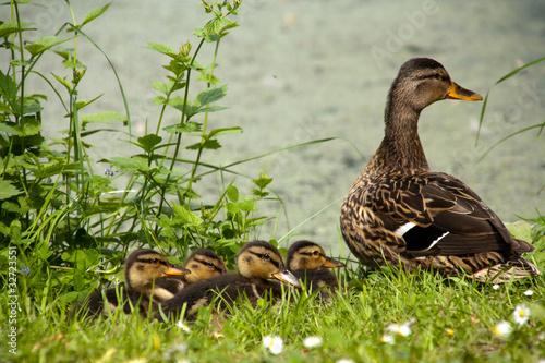 Photo  Enten am Teich
