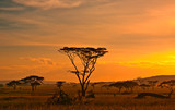 Fototapeta Sawanna - African sunset in the Serengeti National Park, Tanzania