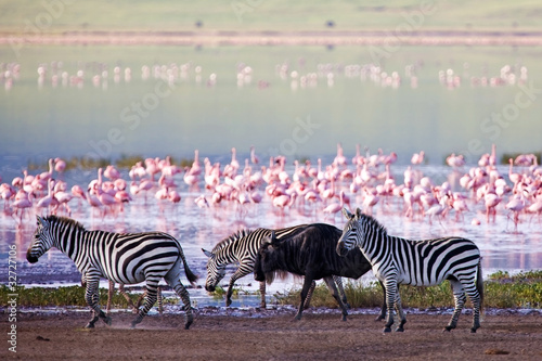 Keuken foto achterwand Zebra Zebras and a wildebeest in the Ngorongoro Crater, Tanzania