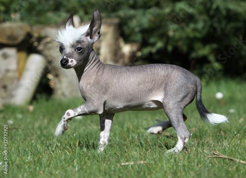 Fotografia, Obraz  chinese crested dog de profil