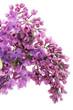 Purple lilac macro