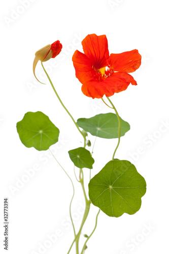 Valokuva  Kapuzinerkresse (Tropaeolum majus) offene und geschlossene Blüte