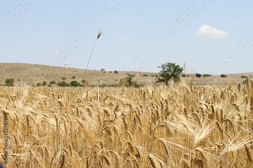 campo di grano Canvas Print