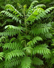 Young Sumac Tree