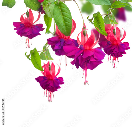 Photo Fuchsia flowers