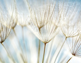 Fototapeta Puff-ball - Abstract dandelion flower background
