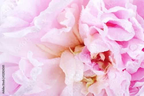 Fototapeta Peony flower obraz na płótnie