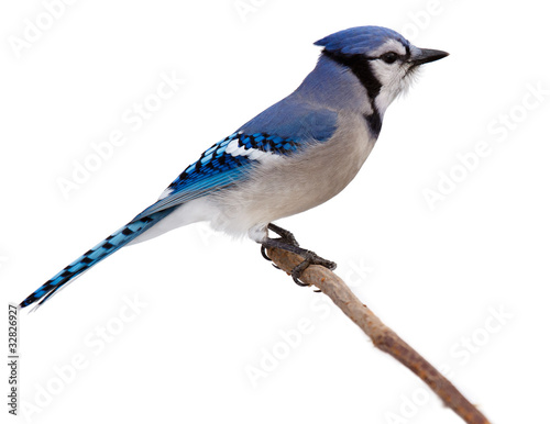 Photo  bluejay scans its surroundings