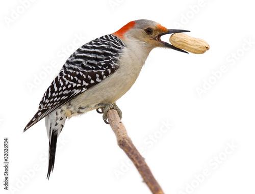 Photo  red bellied woodpecker eats a peanut