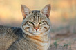 canvas print picture - African wild cat