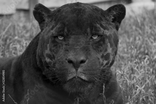 In de dag Panter giaguaro