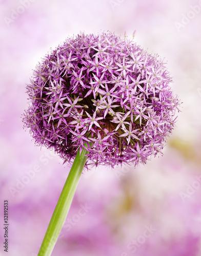 Fototapeta wiosna kwiaty-czosnku-na-wiosne