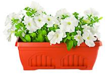 Beautifull White Petunia In Terracotta Flower Pot On White