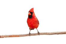 Male Cardinal Eating A Seed
