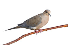 Mourning Dove On A Branch