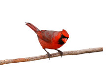 Bright Red Male Cardinal On A Branch