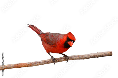 Fotografering bright red male cardinal on a branch